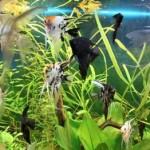 Скалярии плавают в аквариуме