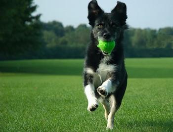 Собака несет мячик