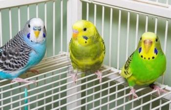 Три волнистых попугая в клетке