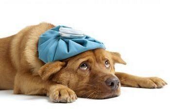У собаки на голове грелка