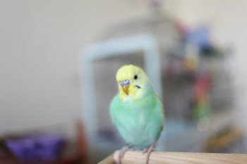 Волнистый попугай в квартире