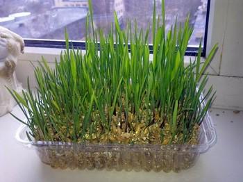 Выращенная трава в квартире
