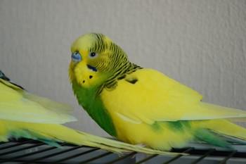 Желтый волнистый попугай нахохлился
