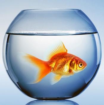 Золотая рыбка в круглом аквариуме