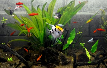 Аквариум со скаляриями и другими рыбами