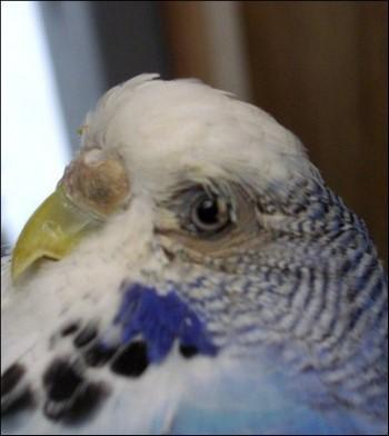 Больной волнистый попугай