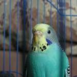 Голубой волнистый попугай в клетке