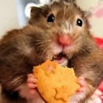 Хомяк очень смешно ест печенье