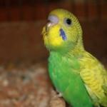 Молодой волнистый попугай