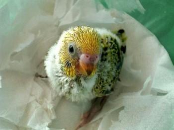 Птенчик волнистого попугая
