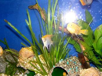 Скалярии с другими рыбками в аквариуме