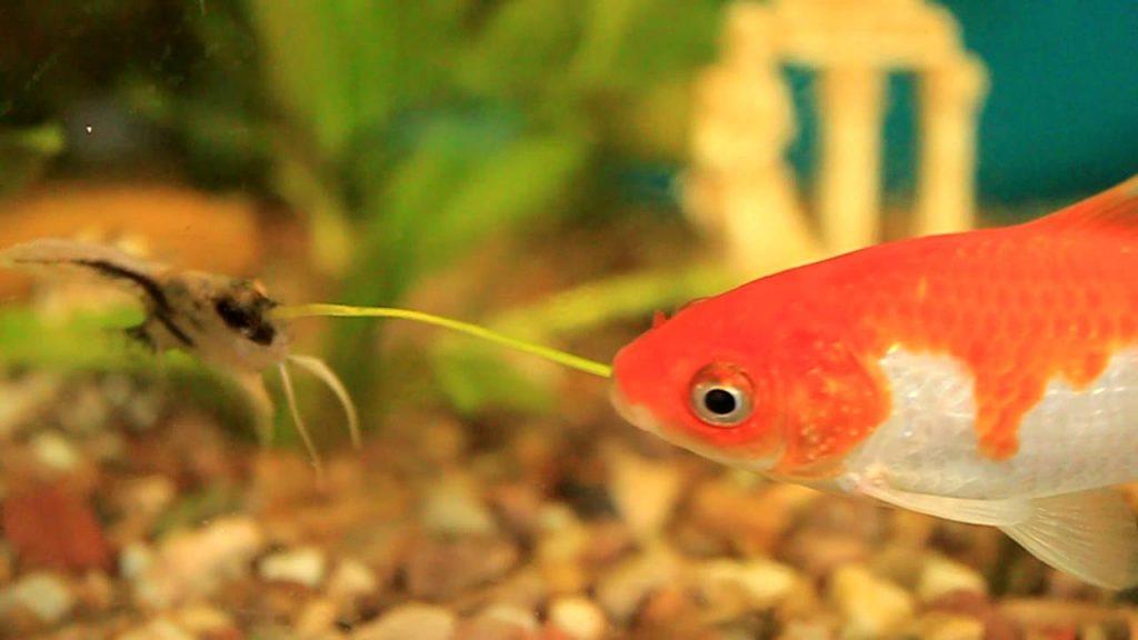 Скалярия и золотая рыбка