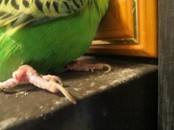 У волнистого попугая проблемы с лапками