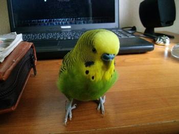 Зеленый волнистый попугай на компьютерном столе