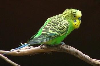 Зеленый волнистый попугай на ветке