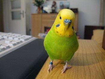 Зеленый волнистый попугай сидит на столе