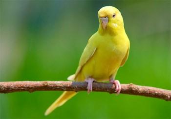 Желтый волнистый попугай на ветке