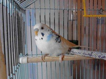 Белый волнистый попугай сидит на деревянной жердочке