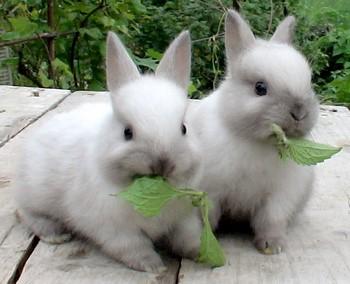 Два маленьких крольчонка едят траву
