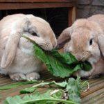 Два рыжих кролика едят траву
