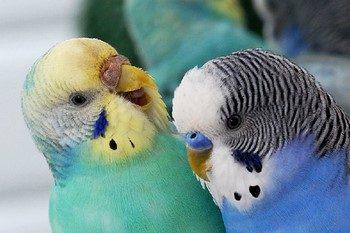 Два смешных волнистых попугая