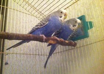 Два волнистых попугая сидят на жердочке в клетке