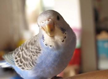 Голубой волнистый попугай внимательно смотрит