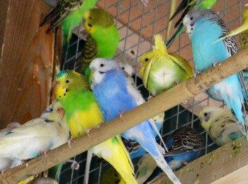 Много волнистых попугаев в клетке