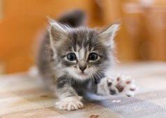 Серый котенок тянется