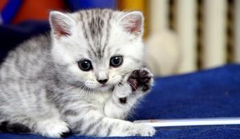 Серый котенок умывается