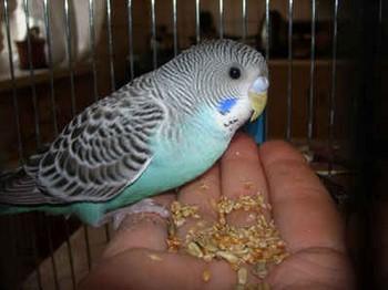 Волнистый попугай ест смесь с рук