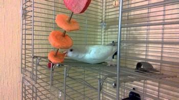 Волнистый попугай в клетке ест сушеные овощи