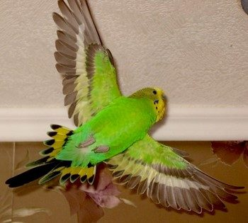 Зеленый волнистый попугай летит