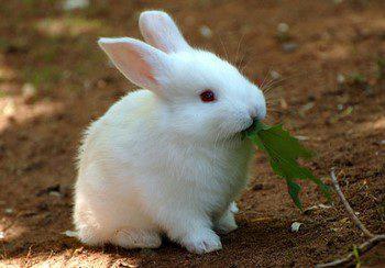 Белый кролик ест траву