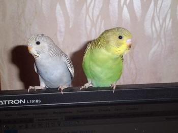 Два волнистых попугая на мониторе