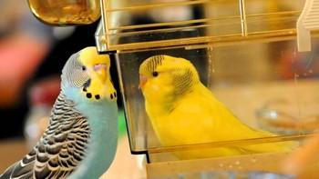 Два волнистых попугая рядом