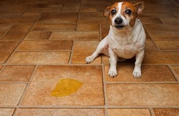 Собака рядом с лужей на полу
