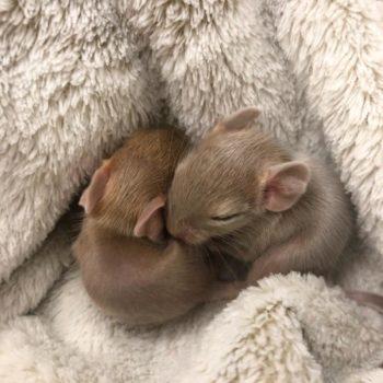 малыши дегу спят