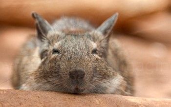 Белка дегу спит