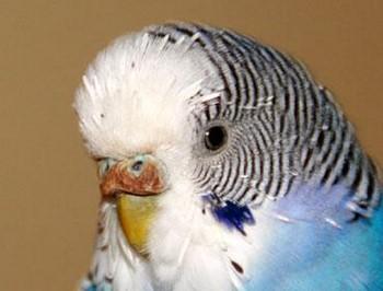 Больная восковица у волнистого попугая