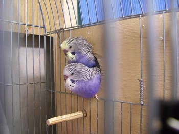 Два фиолетовых волнистика торчат из скворечника
