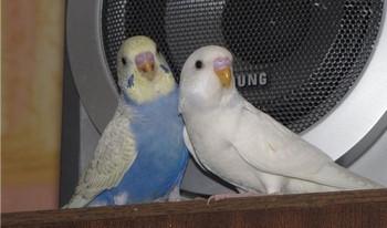 Два волнистых попугая сидят рядом