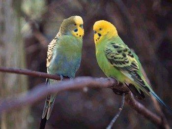 Два зеленых волнистых попугая сидят на ветке