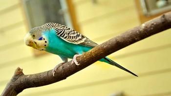 Голубой волнистый попугай сидит на ветке