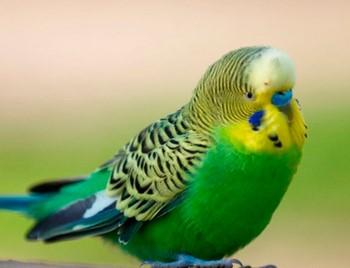 Красивый волнистый попугайчик