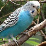 Крупный голубой волнистый попугай