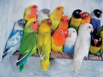 Много попугаев неразлучников на жердочке