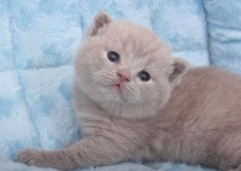 Персиковый котенок шотландский