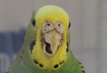 Проблемы с клювом у волнистого попугая
