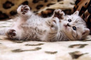 Серый котенок валяется